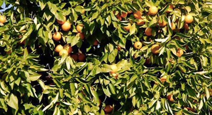 Verde e Giardini - Domani alberi di arance amare saranno piantati alla rotonda di via Besta